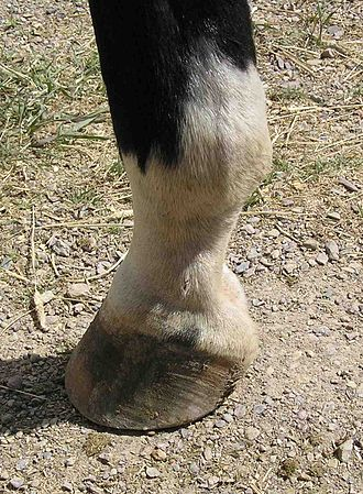 Fetlock - Fetlock joint: the joint between the cannon bone and the pastern