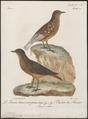Turdus rupestris - 1796-1808 - Print - Iconographia Zoologica - Special Collections University of Amsterdam - UBA01 IZ16300297.tif