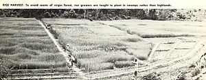 Agriculture in Liberia - Harvesting Rice in Liberia in 1965