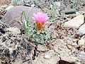 Uinta Basin Hookless Cactus (Sclerocatus wetlandicus) (16982167912).jpg