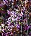 Ungnadia speciosa flowers.jpg
