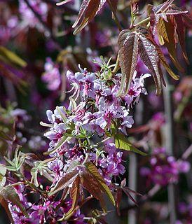 <i>Ungnadia</i> genus of plants
