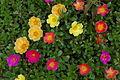 Unidentified Portulaca flowering in a garden 2.jpg
