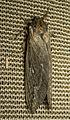 Unidentified moth (01).jpg