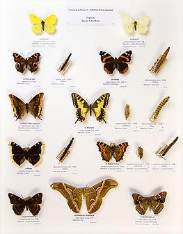 Université de Rennes 1, collection Charles Oberthür, papillons, région holarctique.jpg