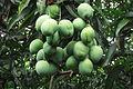 Unripe Mango.JPG