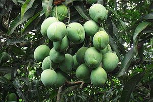 Fauna of Ghana - Mangifera