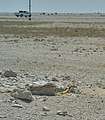 Uromastyx aegyptia near its burrow in Al Kharrara.jpg