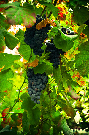 Vinho Verde - Grapes on a vine in the Vinho Verde region