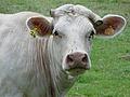 Vache au pré 02.jpg