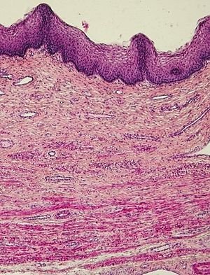 Pochwa człowieka, obraz mikroskopowy.