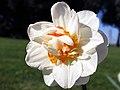 Variedad de Narciso doble (16974693719).jpg