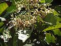Vateria indica 124.JPG