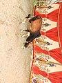 Vechur cattle-3-praba pet-salem-India.jpg