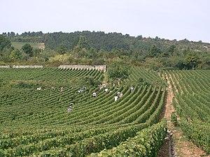 Meursault wine - A Meursault vineyard with harvest in progress.