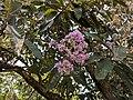 Venonia arbore 63.jpg
