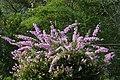 Veranera (Bougainvillea glabra) - Flickr - Alejandro Bayer (3).jpg