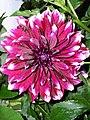 Verbania Pallanza Blume2.JPG