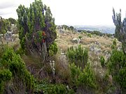 Vertical bog on Mount Kenya on the Naro Moru Route