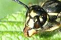 Vespula.vulgaris8.-.lindsey.jpg