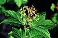 Viburnum acerifolium 1120607.jpg