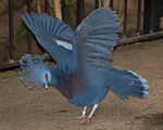 Victoria Crowned Pigeon Goura victoria Wings Spread 2236px.jpg