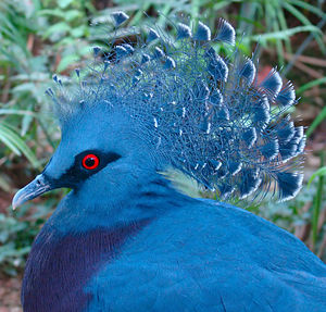 Headshot of a Victoria Crowned Pigeon, taken i...