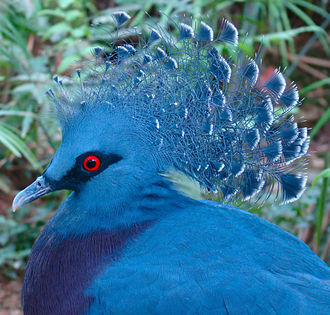 Columbea - Image: Victoria Crowned Pigeon Jurong