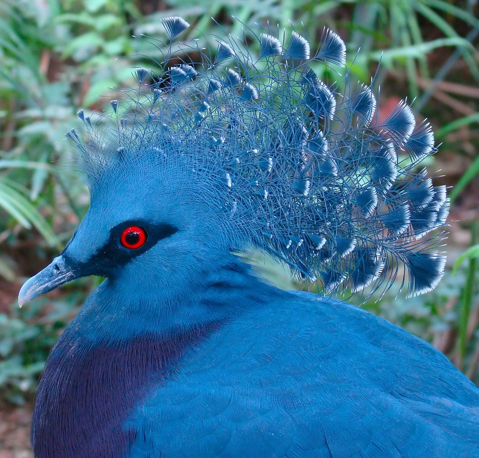 Victoria Crowned Pigeon Jurong