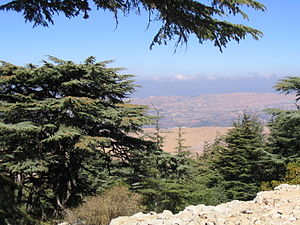 Cedrus - Lebanon cedar in Al Shouf Cedar Nature Reserve, Barouk, Lebanon