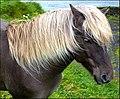 Viking horse - Isole Faroe - panoramio.jpg