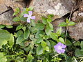 Vinca major (Barlovento) 03.jpg