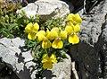 Viola fragrans.jpg