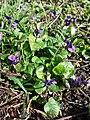 Viola odorata sl15.jpg