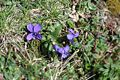 Viola pyrenaica 28042006.JPG