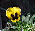 Viola x wittrockiana (Pansy).jpg