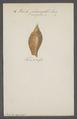 Voluta magellanica - - Print - Iconographia Zoologica - Special Collections University of Amsterdam - UBAINV0274 087 04 0030.tif