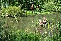 Wachtspaarbekken Bettelhovebeek 14.jpg