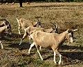 Wahner Heide – Ziegen und Glanrinder.jpg