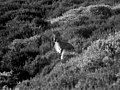 Wallaby near Gradbach Mill - geograph.org.uk - 1254610.jpg