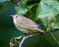 Warbler (4900467847).jpg