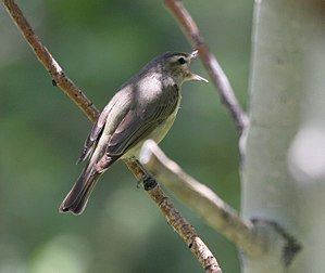 Warbling vireo - Vireo singing Ruby Mountains, Nevada