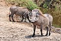 Warthog Serengeti.jpg