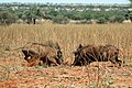 Warthogs (Phacochoerus africanus) young males fighting.jpg