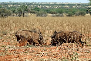Common warthog - Young males fighting, Tswalu Kalahari Reserve, South Africa