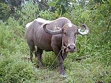 Water-buffalo.jpg