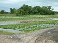 Watercress - geograph.org.uk - 25444.jpg