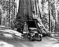 Wawona Tree Road.jpg