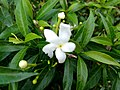 Wayanadan-random-flowers IMG 20180524 152941 HDR (41654397144).jpg