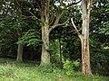 We Three Trees - geograph.org.uk - 926586.jpg